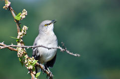 Singing Northern Mockingbird Perched in a Tree. Singing Northern Mockingbird Perched in a Thorny Tree Royalty Free Stock Image