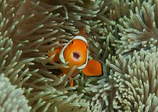 Singing ocellaris clownfish, Aphiprion ocellaris among the tentacles of its sea anemone stock image