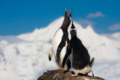 Singing penguins Stock Photo