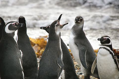 Singing Penguins Stock Photos