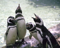 Singing penguins. A quartet of penguins in a zoo seem to sing Royalty Free Stock Photos