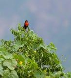 Singing Peruvian Meadow lark Stock Image