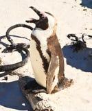 Singing penguin Stock Photography