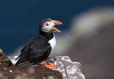 Singing puffin - Fratercula arctica Stock Photos