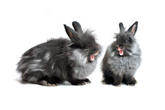 Singing Rabbits Stock Images