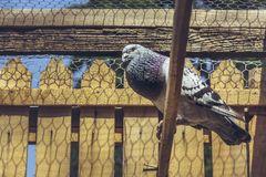 Singing racing pigeon Stock Images