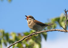 Singing red-backed shrike (female) Royalty Free Stock Images