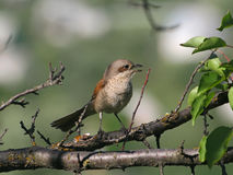 Singing red-backed shrike (female). Singing bird (red-backed shrike, lanius collurio, female) sitting on a branch Stock Images