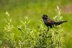 Singing red-winged black bird, Shoreline Park, Mountain View, south San Francisco bay, California stock photo