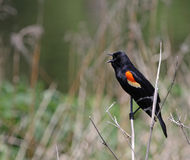 Singing Red-winged Blackbird Royalty Free Stock Photography