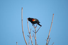 Singing red-winged Blackbird Royalty Free Stock Image