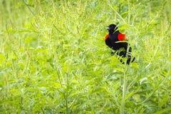 Red-winged blackbird - Agelaius phoeniceus Stock Photo
