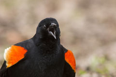 Singing Red winged blackbird Stock Photography