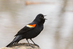 Singing Red winged blackbird Royalty Free Stock Photos