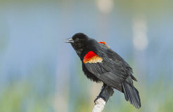 Singing Red winged blackbird male Stock Images