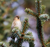 Singing Redpoll Royalty Free Stock Photography