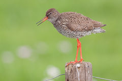 Singing Redshank (Tringa totanus). Royalty Free Stock Photography