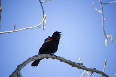 Singing Redwinged Blackbird Stock Images
