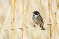 Singing reed bunting bird Emberiza schoeniclus in the reeds on a. Closeup of a common reed bunting bird Emberiza schoeniclus singing a song on a reed plume Royalty Free Stock Photos