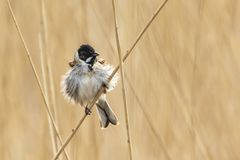 Singing reed bunting bird Emberiza schoeniclus in the reeds on a. Closeup of a common reed bunting bird Emberiza schoeniclus singing a song on a reed plume Stock Images