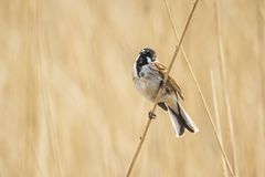 Singing reed bunting bird Emberiza schoeniclus in the reeds on a. Closeup of a common reed bunting bird Emberiza schoeniclus singing a song on a reed plume royalty free stock image