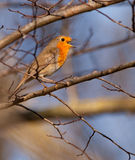 A singing Robin. The chant of the European Robin (Erithacus rubecula) is short and hesitant so that it is rare to watch him singing Royalty Free Stock Photos