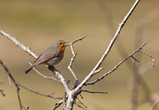 Singing robin Royalty Free Stock Images