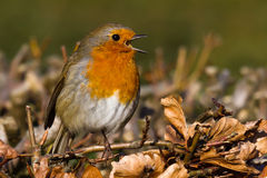 Singing Robin. Perched on hedgerow royalty free stock photo