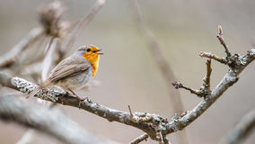 Singing Robin Robin Royalty Free Stock Image