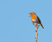 Singing robin. Single robin perched on a branch in a morning sunshine singing with his beak wide open and clear blue sky in the background royalty free stock images