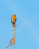 Singing robin. Single robin perched on a branch in a morning sunshine singing with his beak wide open and clear blue sky in the background Royalty Free Stock Photo