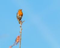 Singing robin. Single robin perched on a branch in a morning sunshine singing with his beak wide open and clear blue sky in the background stock images