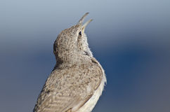 Singing Rock Wren Royalty Free Stock Images