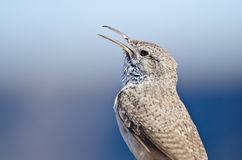 Singing Rock Wren Royalty Free Stock Photo