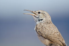 Singing Rock Wren Stock Images