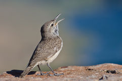Singing Rock Wren Royalty Free Stock Photos