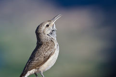 Singing Rock Wren Stock Image