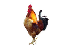 The Singing rooster Stock Photo