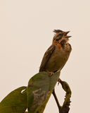 Singing Rufous-colored Sparrow. A lonely Rufous-collared Sparrow (Zonotrichia capensisa) sings perched on top of a tree Royalty Free Stock Images