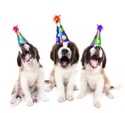 Singing Saint Bernard puppies with birthday Stock Images