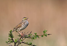 Singing Savannah Sparrow. A Savannah Sparrow (Passerculus sandwichensis) perched on a tree. Shot in Cambridge, Ontario, Canada royalty free stock photography