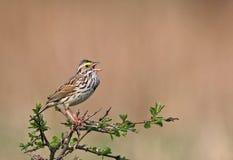 Singing Savannah Sparrow Royalty Free Stock Photography