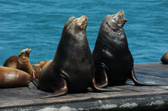 Singing Sea Lions. A pair of wild California Sea Lions and their pups sing together on a floating dock in the Pacific Royalty Free Stock Images