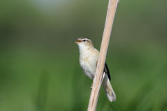 Singing Sedge Warbler. Perching Sedge Warbler (Acrocephalus schoenobaenus) sings. Moscow region, Russia Stock Images