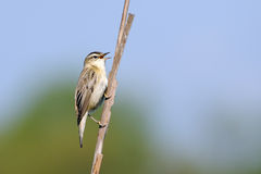 Singing Sedge Warbler. Perching Sedge Warbler (Acrocephalus schoenobaenus) sings. Moscow region, Russia Royalty Free Stock Images