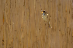 Singing Sedge warbler reed background. Singing Sedge warbler (Acrocephalus schoenobaenus) in reed marsh habitat. It is a medium-sized migratory warbler with a Royalty Free Stock Photos