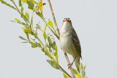 Singing sedge warbler Royalty Free Stock Photo