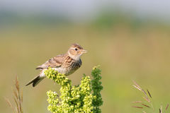 Singing skylark at grass perch at the meadow Royalty Free Stock Photos