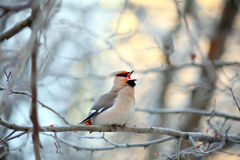 Singing small bird in the cold winter Royalty Free Stock Images