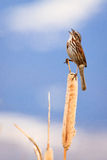 Singing Song Sparrow. Song Sparrow sings from his cattail perch in spring, Montana royalty free stock photo